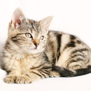cat, pet, striped